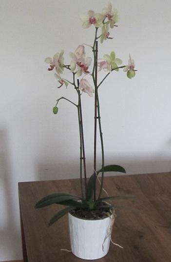 Orchidee zur Raumgestaltung